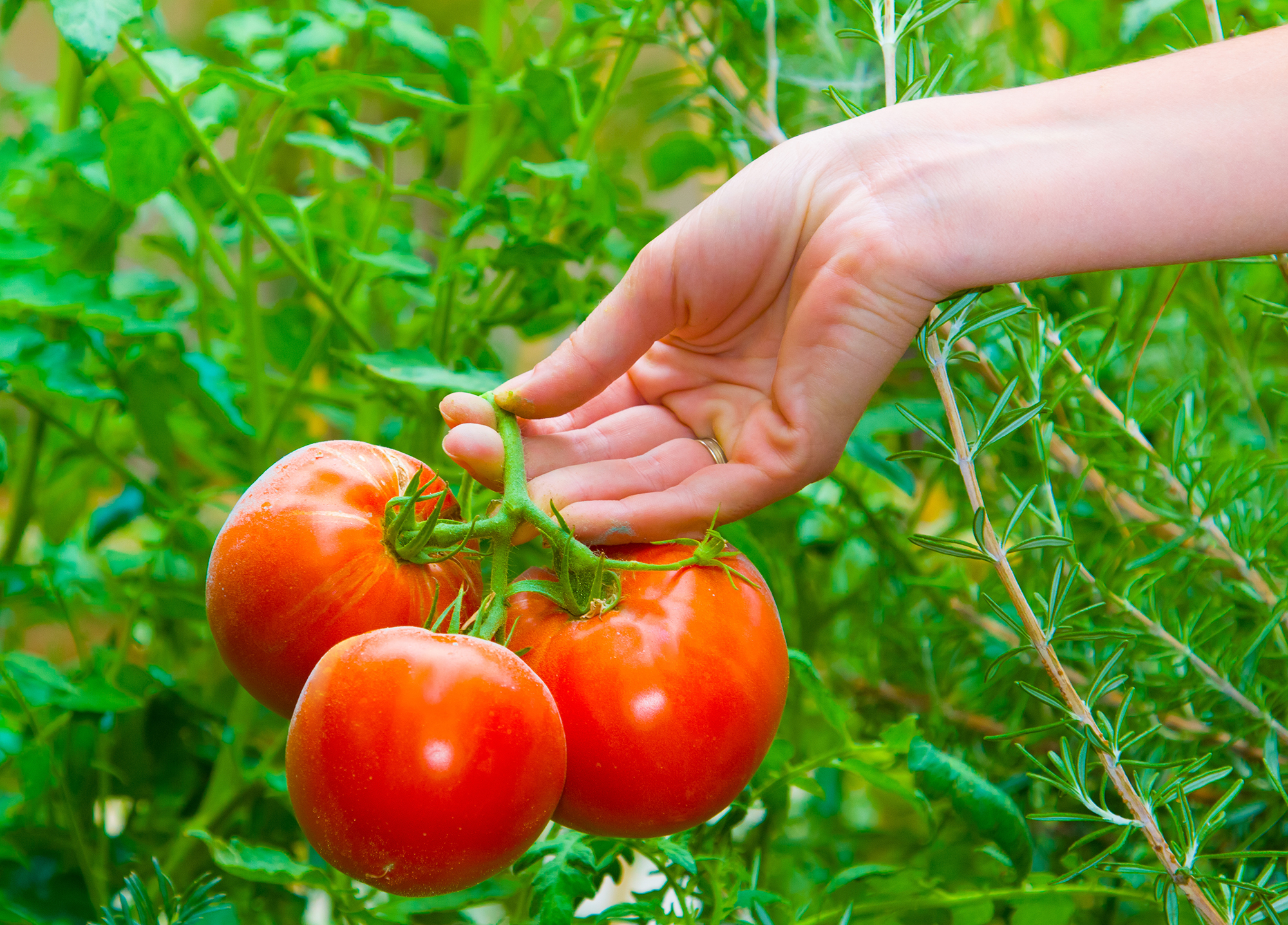 Fresh Tomato Day
