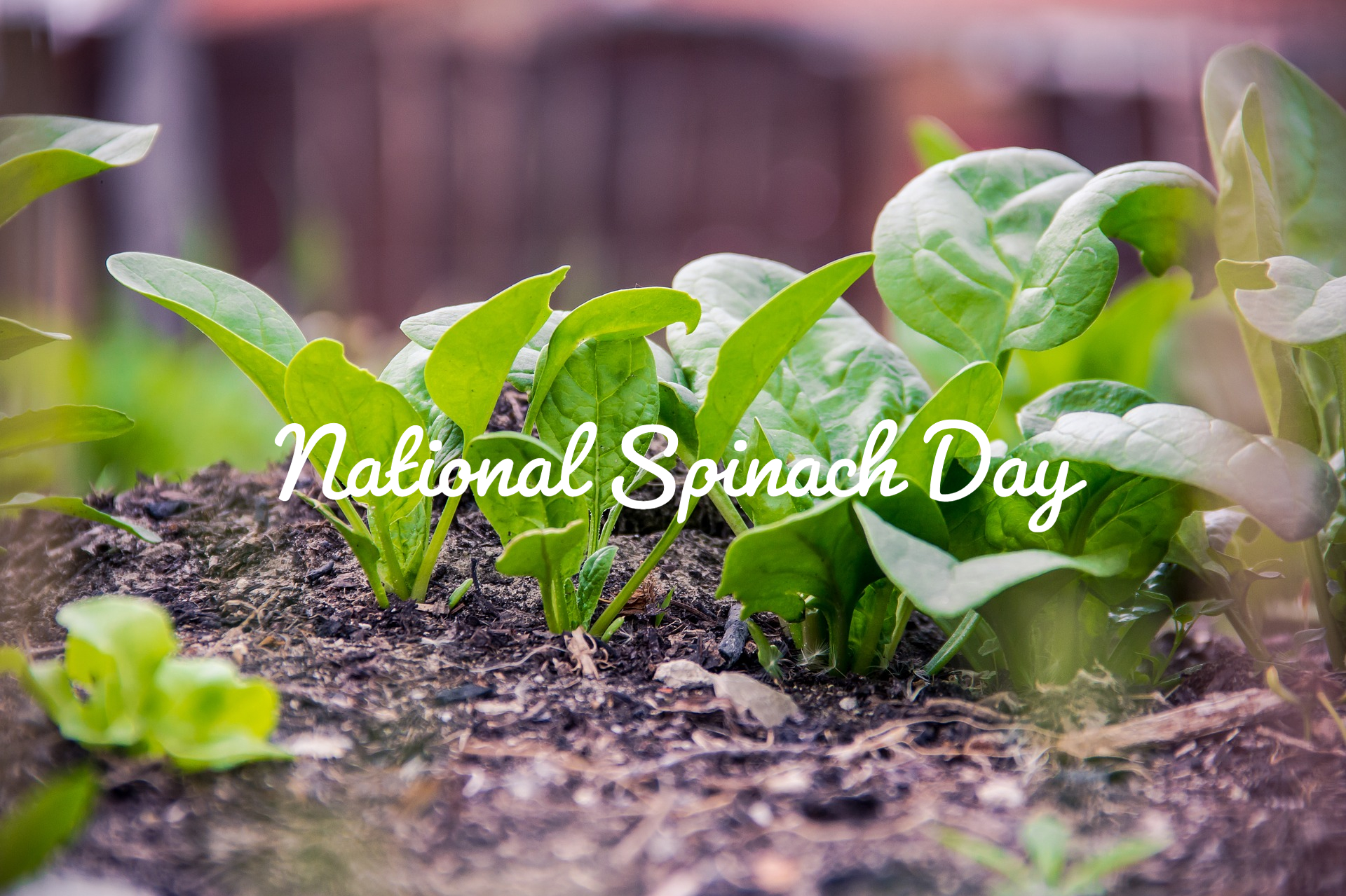 National Spinach Day blog